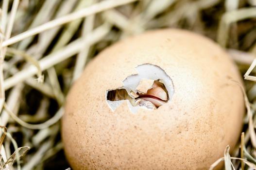 hatching-chicks-2448541_1280